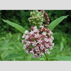 Twelve Native Milkweeds For Monarchs • The National