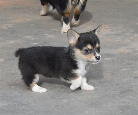 tri color corgi black headed tricolor corgis k corgis page 2