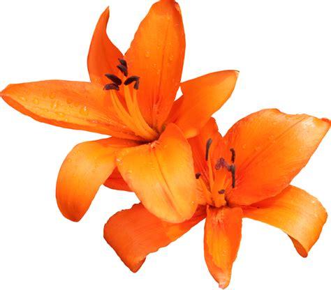 orange lilies clipart clipground