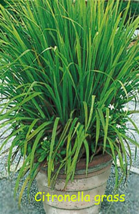 buy citronella grass 10 fragrant plants that repel mosquitoes home gardeners