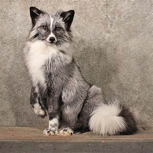 Silver Fox Life Size Sitting Taxidermy Mount For Sale