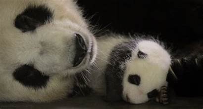 Animaux Panda Nature
