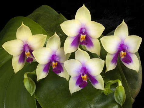 how to make orchids bloom again getting moth orchids to bloom again world of flowering plants
