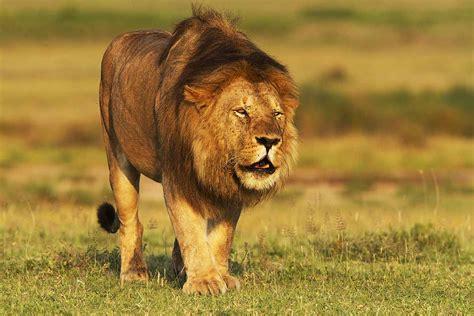 lion kenya national animal wallpapers