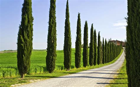 Home And Garden  Types Of Cypress Trees Tips For Growing