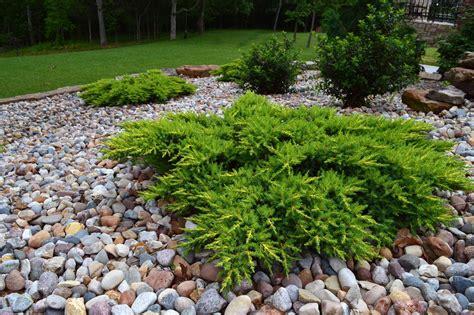 calgary carpet juniper google search plantings