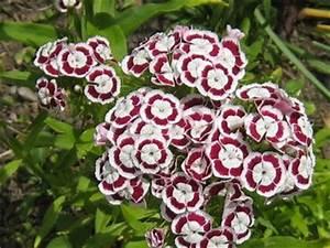 Oeillet De Poete : oeillet de poete melange rose et blanc 50 graines seeds ebay ~ Melissatoandfro.com Idées de Décoration