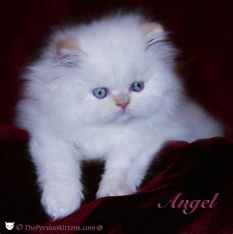 Persian Cat Adoption  Pros And Disadvantages  Loved Ones