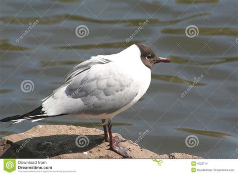 Gabbiano Testa Nera - gabbiano con testa nera fotografia stock immagine di gull