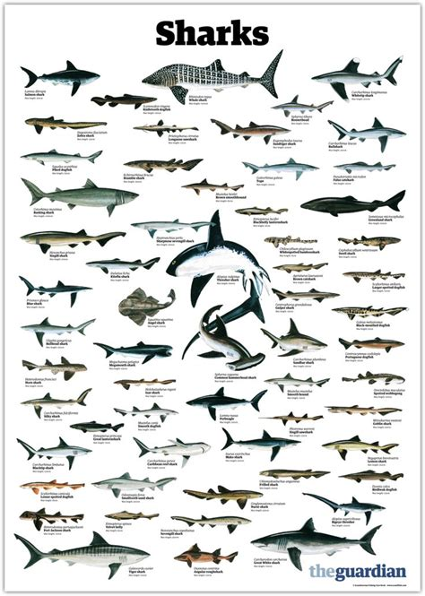 trynottodrown    shark species full size