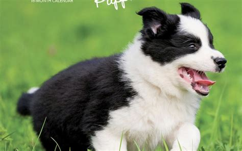 border collie puppies square wall calendar browntrout uk