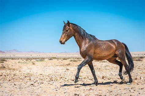wild horse horses namibia namib aus information stallion africa read