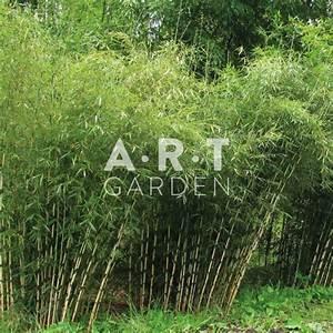 Bambou A Planter : bambou pour jardin et terrasse planter fargesia robusta ~ Premium-room.com Idées de Décoration