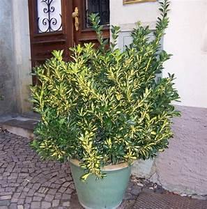 Kübelpflanzen Für Schatten : sechs immergr ne winterharte k belpflanzen auch f r restaurants ~ Eleganceandgraceweddings.com Haus und Dekorationen
