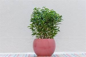 Ficus Bonsai Schneiden : ficus benjamini schneiden so k rzen sie die birkenfeige richtig ~ Indierocktalk.com Haus und Dekorationen