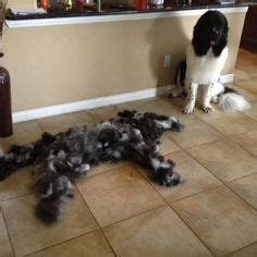do newfoundlands shed year 1000 images about newfies the best on
