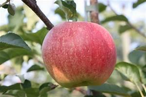 Großen Apfelbaum Kaufen : apfel paradis sparkling malus frisch aus der ~ Lizthompson.info Haus und Dekorationen