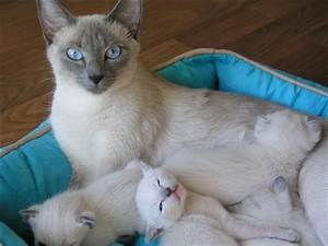 Image Gallery Lilac Siamese