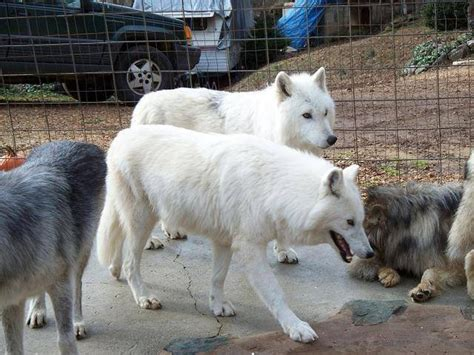 Rare White Arctic Wolf Cubs For Sale For Sale Adoption