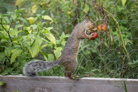 how to keep squirrels out of your garden 7 ways to keep squirrels from your tomatoes mnn