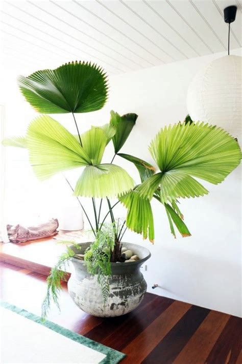 indoor palm images which are the typical types of palm trees interior design ideas avso org