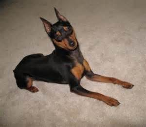 miniature pinscher helping humans helping dogs