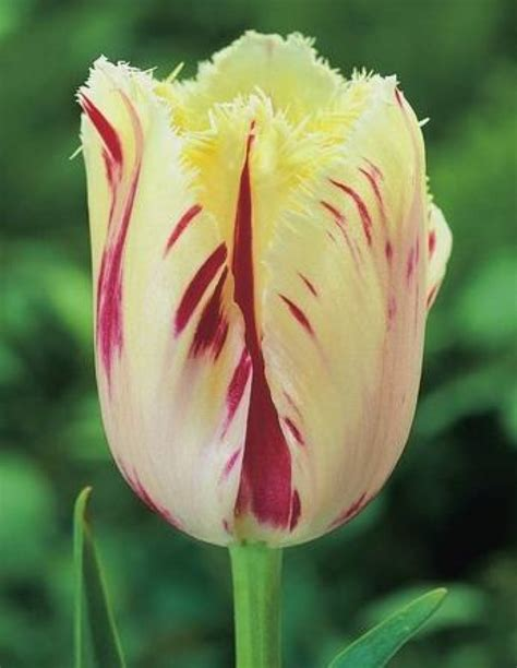 wholesale flower bulbs potted bulbs perennials lilies