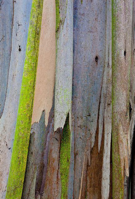 eucalyptus 85 barking f c tree bark and