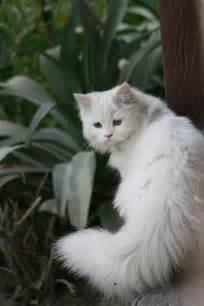 white cat lovely pets cat
