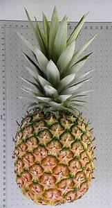Plant D Ananas : pineapple collection usda ars ~ Melissatoandfro.com Idées de Décoration