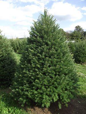 douglas fir christmas tree care how to the tree tree and landscape company jackson