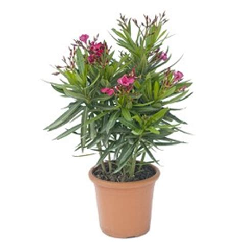 entretien laurier en pot laurier jannoch plantes et jardins
