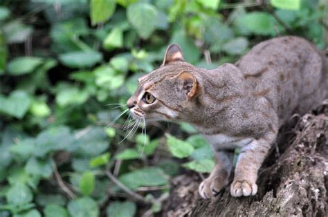 spotted rusty cat wild smallest cats endangered member species little indian prionailurus animal gatos guardado desde