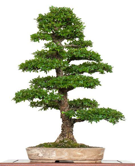 chinesische ulme bonsai chinesische ulme ulmus parvifolia als bonsai