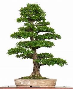 Bonsai Chinesische Ulme : chinesische ulme ulmus parvifolia als bonsai ~ Sanjose-hotels-ca.com Haus und Dekorationen