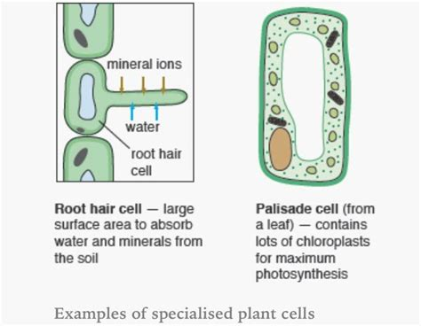 specialised plant cells bio cells plant cell aqa