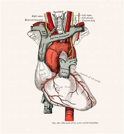 Anatomy Illustrations Grey Vector Clip Heart Human