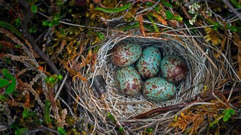 Ground Nest In The Arctic National Wildlife Refuge Alaska