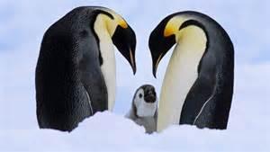 Emperor Penguin Animal Kingdom