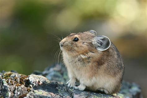 Pika The Life Of Animals