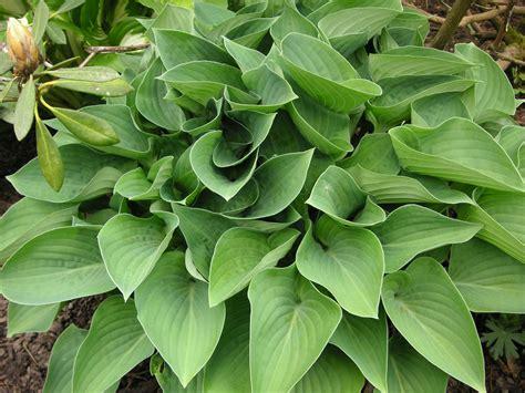 what are hostas hosta that bloomin garden