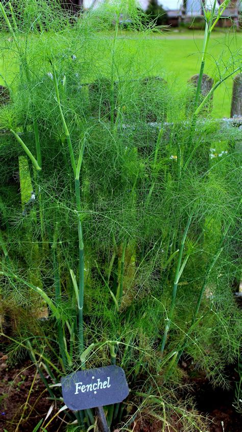 Garten Fenchel Pflanzen by Fenchel Foeniculum Vulgare Fenchel Garten Wissen