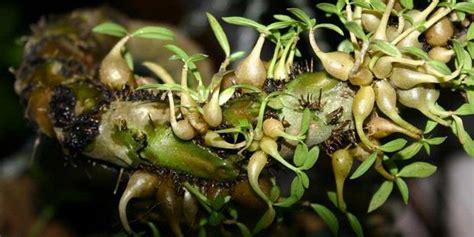 edukasi tentang herbal umbi sarang semut berkhasiat obat