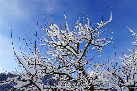 snow on the branches of trees our great photos