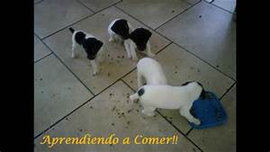 CACHORROS TERRIER CHILENO - YouTube