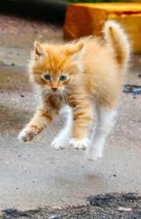 Orange Cat Kitten