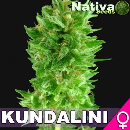 Kundalini Lade by Kundalini Nativa Seeds Seedfinder Sorten Info