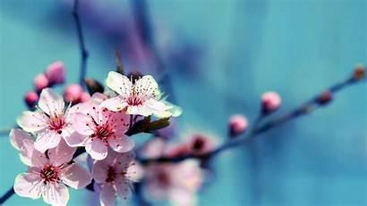 Cherry Blossom Flowers Wallpapers Blossoms Desktop Airwallpaper