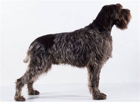 griffon german wirehaired pointer shedding wirehaired pointing griffon breed information facts