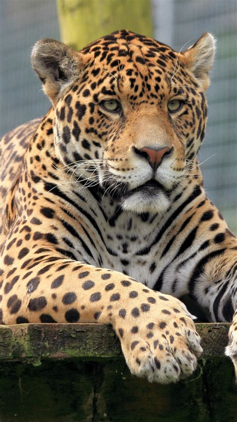 Jaguar Animal Iphone Wallpaper - jaguar animal wallpaper iphone